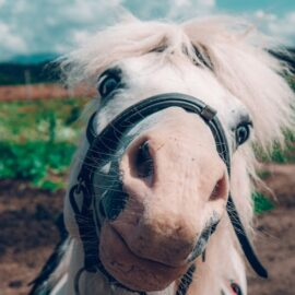 What is a carbohydrate and sugar and fructan in horses diets?